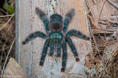 Guyana Pinktoe Tarantula  Female