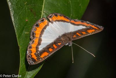Stichel's Nymphidium