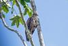 Broad-winged Hawk (J)