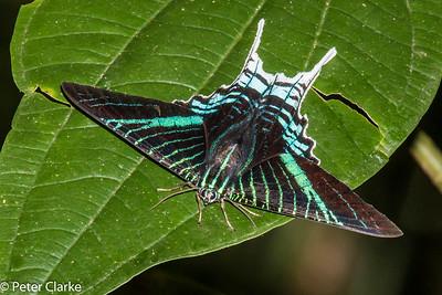 Urania Leilus (Moth)