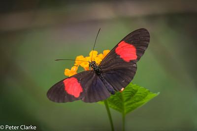 Polymnia Tigerwing Mechantis