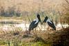 Black-neck Stork