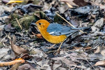 Orange Headed Thrush