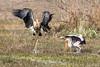 Painted Stork