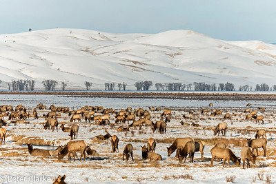 The National Elk Refuge- Jackson Hole