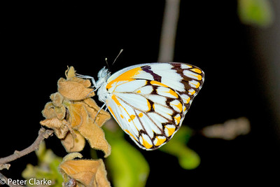 Butterfly at night