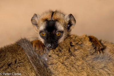 Red-fronted Brown Lemur (Baby)