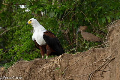 Fish Eagle with Hamerkop
