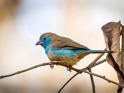 Red-cheeked Cordon-bleu (F)