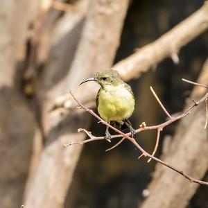 Beautiful Sunbird (f)