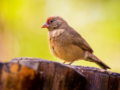 Red-billed Firefinch (F)