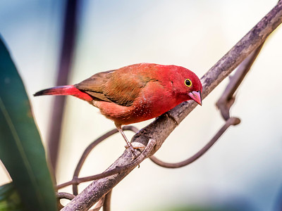 Red-billed Firefinch (M)