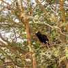 Long -crested Eagle