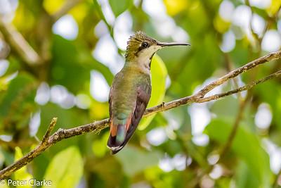 Ruby Topaz Hummingbird (F)