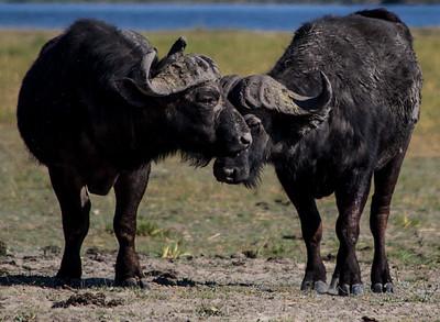 Pair of water buffalo