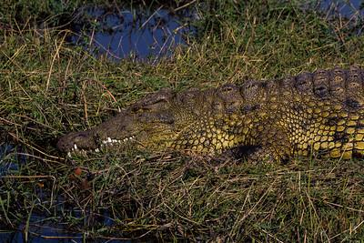 Nile crocodile basking in the dusk