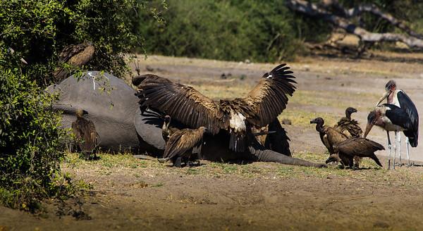 Vultures feeding on an elephant