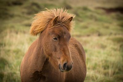 Icelandic horse, #5