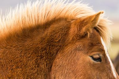 Icelandic horse, #3