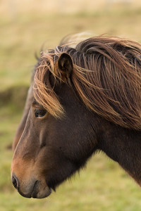 Icelandic horse, #2