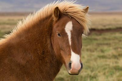 Icelandic horse, #4