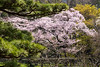 Cherry blossoms galore