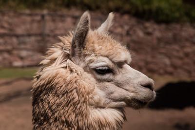 Unshorn alpaca