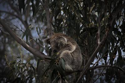 Koala bear curled up in a tree
