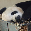 Tian Tian sleeping