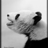 Yang Guang, Sunshine, Panda at Edinburgh Zoo