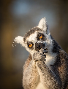 Ring-tailed lemur biting nails