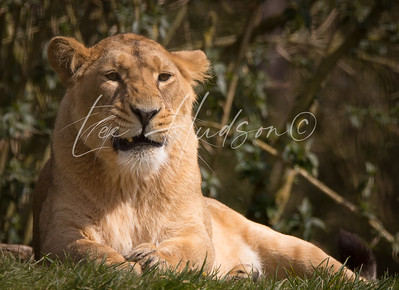 Asiatic lioness snarling