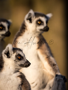 Ring-tailed lemur troop