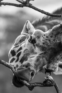 Giraffe, black and white