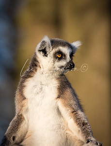 Ring-tailed lemur 2