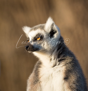 Ring-tailed lemur looking sleepy