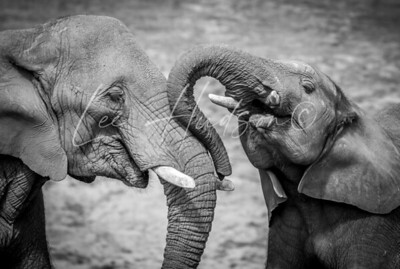 African elephants, black and white
