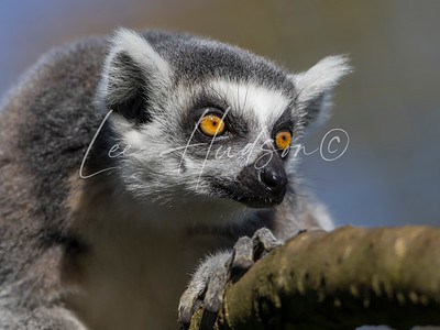 Ring-tailed lemur staring