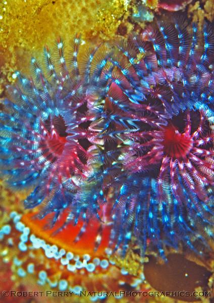 blue red white spiral polychaetes Log 712 1980-08 Anacapa