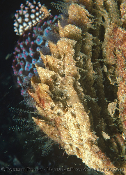 Phragmatopoma californica CLOSE sideview 1977-12