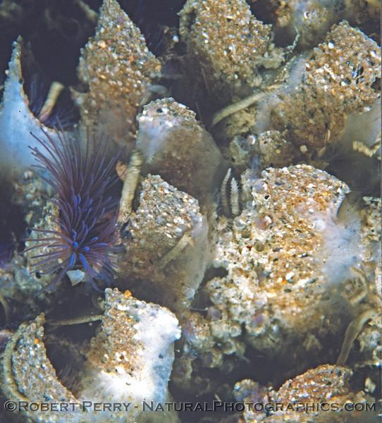 Phragmatopoma californica CLOSE Log 763 1981-04 SM Pier