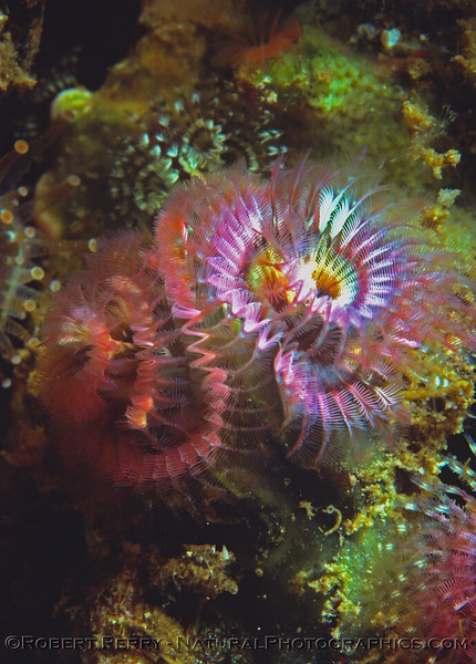 spiral polychaete CLOSE pink Log 712 1980-08