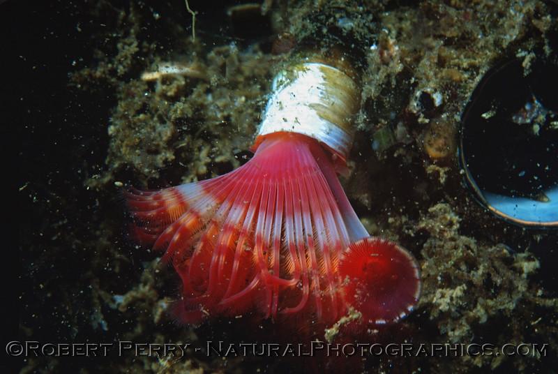 polychaete tubeworm fan Log 690 1980-05 Sta Cruz Island