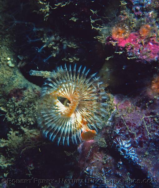 spiral polychaete Log 845 1982-02 Sta Cruz Island