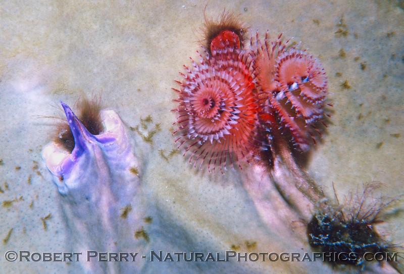 polychaete spiral tubeworm Log 1146 1985-08 Bonaire