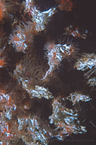 small calcified tube worm mass CLOSE 1977-02
