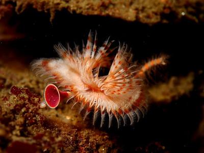 Serpula vermicularis (serpulid worm)