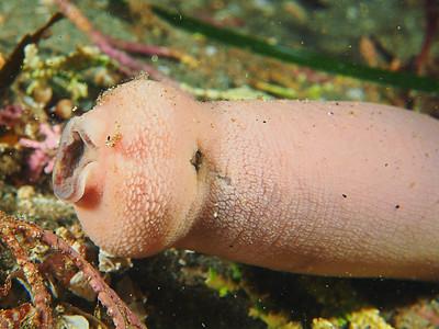 Urechis unicinctus (fat innkeeper worm)
