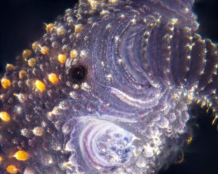 Velvet Worm Head