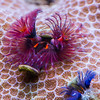 Christmas tree worms (Spirobranchus)